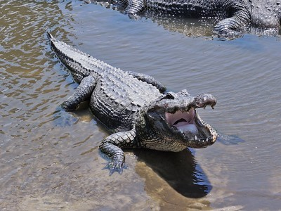 man-pleads-guilty-after-placing-alligator-on-connecticut-man-as-a-threat