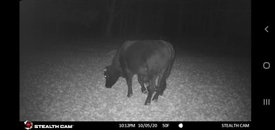 buddy-the-beefalo-spotted-back-in-area-of-trap