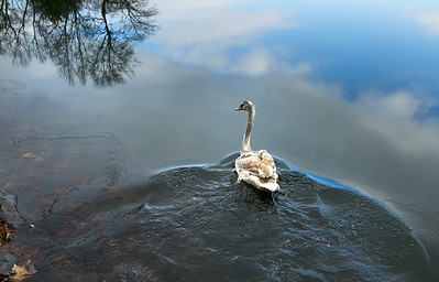 baby-swan-aswimming-again-after-wolcott-lake-rescue