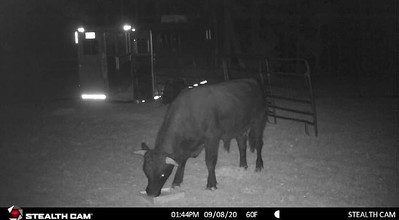 i-almost-dont-want-it-to-be-over-its-been-such-a-good-story-plymouth-mayor-says-police-close-to-capturing-beefalo