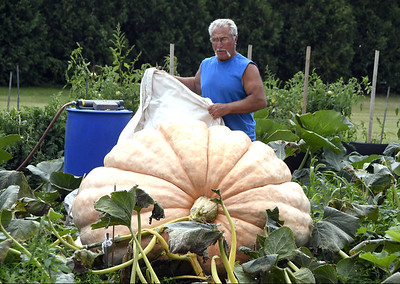 there-he-grows-again-vincent-readies-latest-crop-of-great-pumpkins