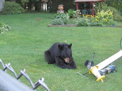 black-bears-entering-homes-sightings-on-rise-in-area-here-are-tips-on-what-to-do-if-you-encounter-one