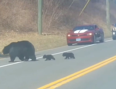 human-parents-feel-for-mama-bear-trying-to-corral-her-cubs