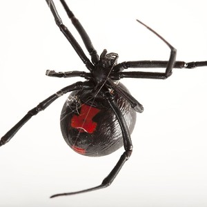 connecticut-woman-finds-deadly-spider-in-grocery-store-grapes