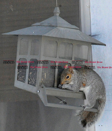 Rob Heyl Squirrel feeding in New Britain from a squirrel proof feeder. 02.10.11 for 02.11.11