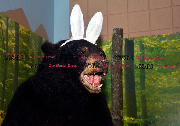 3/25/2016 Mike Orazzi | Staff A stuffed black bear with bunny ears at the Barnes Nature Center for Easter events on Friday.