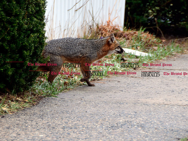 4/6/2017 Mike Orazzi | Staff A fox after biting a Bristol postal carrier on the leg on Goodwin Street Thursday afternoon. The fox was located and shot by Bristol animal control and will be sent off to rabies testing.