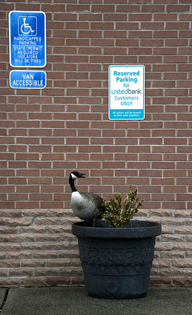 4/19/2018 Mike Orazzi   Staff A goose while guarding eggs laid in a flower pot at United Bank on Riverside Avenue in Bristol Thursday.