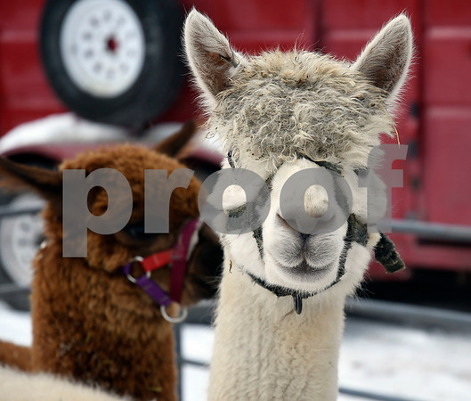 12/16/2017 Mike Orazzi | Staff Llamas from Circle K Farm during the petting zoo at Rockwell Park Saturday for Bristol's &quote;Santa Land Village.&quote;