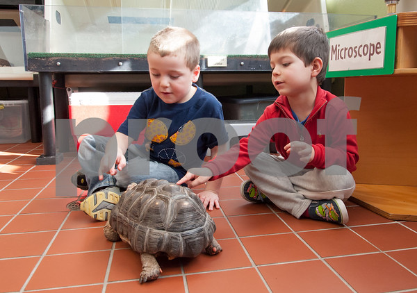 01/25/18 Wesley Bunnell | Staff Children were able to get an up close look at animals at Imagine Nation in Bristol on Thursday afternoon. Joey Beauchemin, age 5, and Manny Moreiras, age 4, count the number of dots on the shell of Ruby the red footed tortoise who would follow the pair around the room.