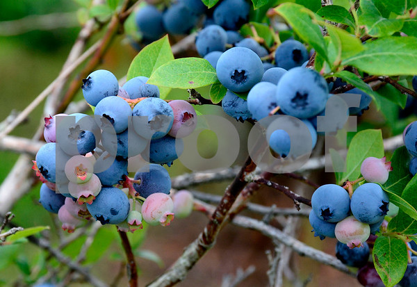 7/30/2014 Mike Orazzi | Staff Blueberries at Litchfield Hills Blueberry Farm in Plymouth on Wednesday afternoon.