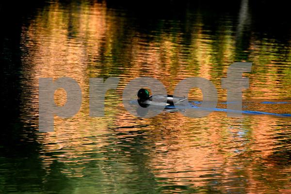 10/17/2017 Mike Orazzi | Staff A mallard duck on Birge Pond in Bristol Tuesday afternoon.