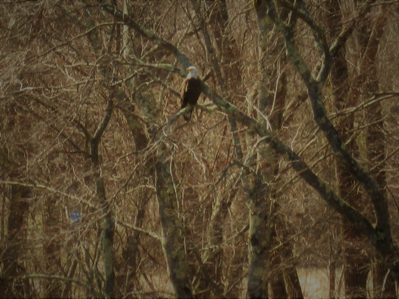 bald eagle::1