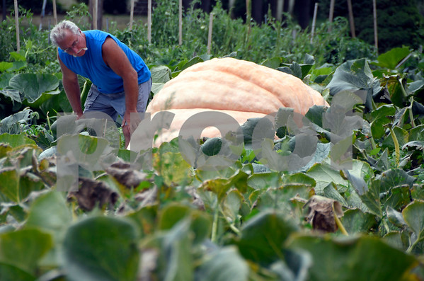 9/5/2017 Mike Orazzi | Staff Gary Vincent cares for his giant pumpkins he is growing in Plainville again this year.