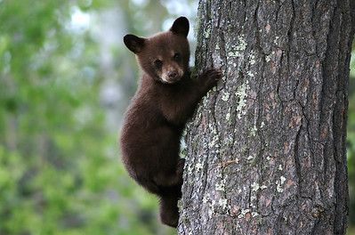journeys-with-jim-bear-sightings-could-get-more-common