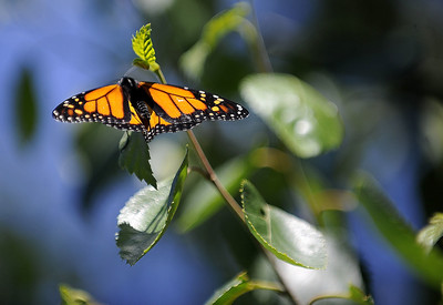 conservation-commission-member-on-mission-for-butterflies
