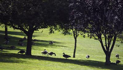 bristol-parks-commission-discusses-goose-problem