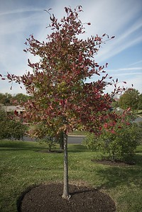 plymouth-beautification-committee-planting-tree-to-honor-those-who-died-from-covid19-inviting-residents-to-speak