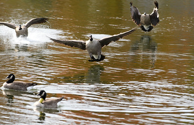 southington-man-charged-after-running-over-family-of-geese-police