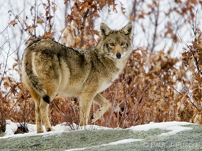 animal-control-offers-tips-for-seeing-a-coyote