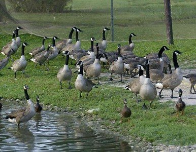 connecticut-man-charged-with-running-over-killing-13-geese
