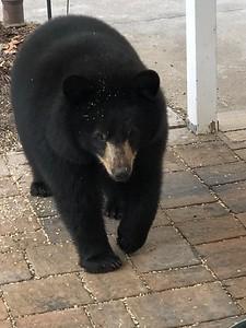 police-thomaston-man-shot-killed-bear-that-his-dog-confronted