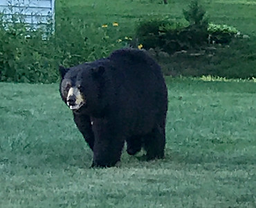 journeys-with-jim-bear-sightings-increase-during-summer-time