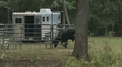 plymouth-police-believe-they-are-very-close-to-capturing-buddy-the-beefalo